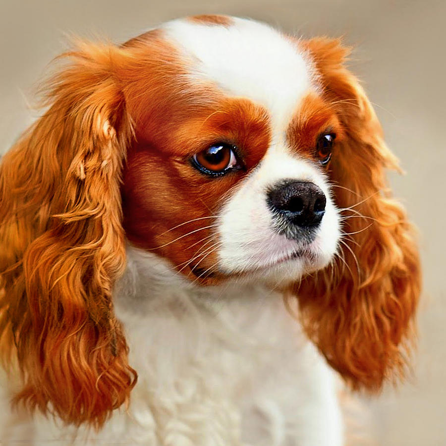 Dog Photograph - Cavalier Spaniel  by Dorothy Walker