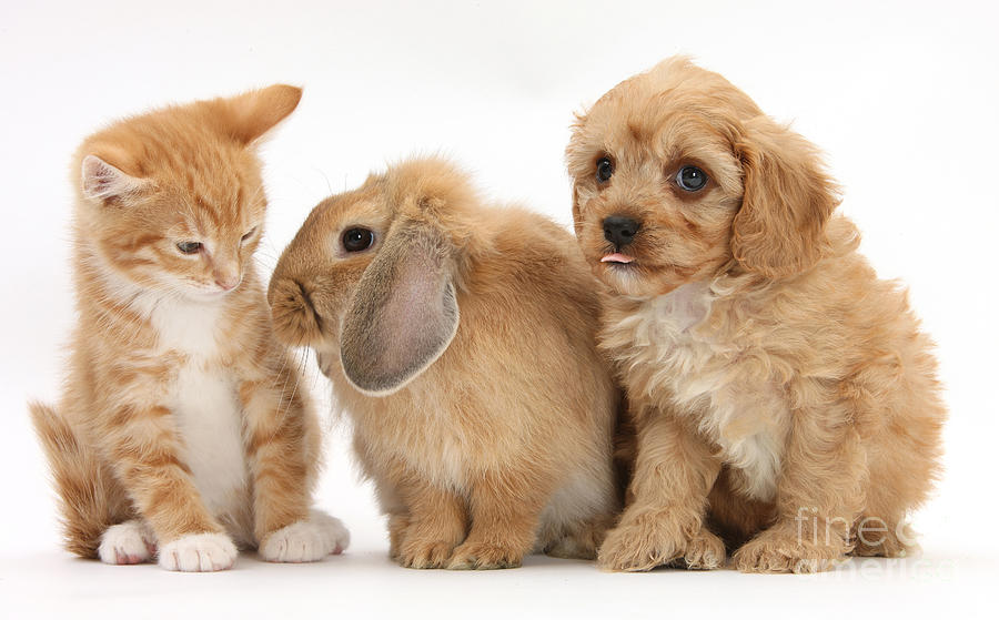 Cavapoo Pup, Rabbit And Ginger Kitten Photograph by Mark ...