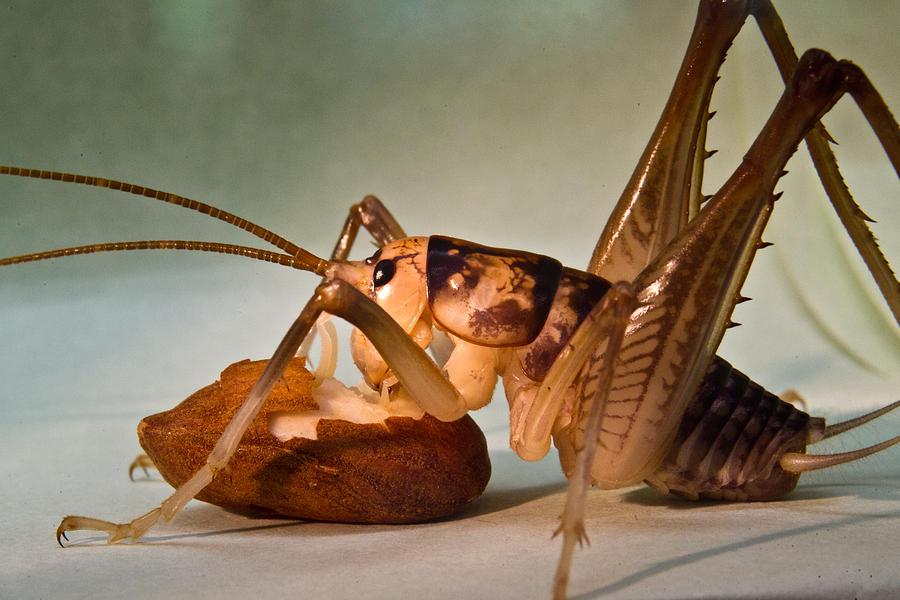 Orthoptera Photograph - Cave Cricket Feeding On Almond 10 by Douglas Barnett
