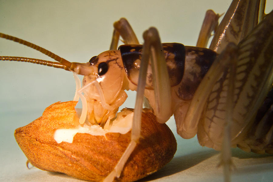 Orthopteran Photograph - Cave Cricket Feeding On Almond 11 by Douglas Barnett
