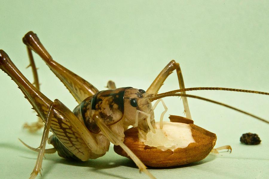 Orthoptera Photograph - Cave Cricket Feeding On Almond 8 by Douglas Barnett