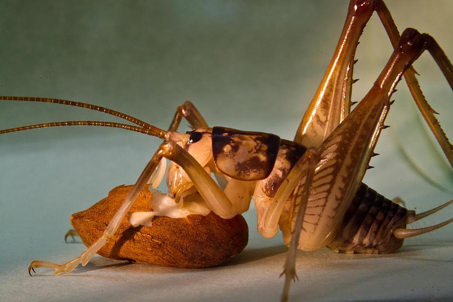 Orthopteran Photograph - Cave Cricket Feeding On Almond 9 by Douglas Barnett