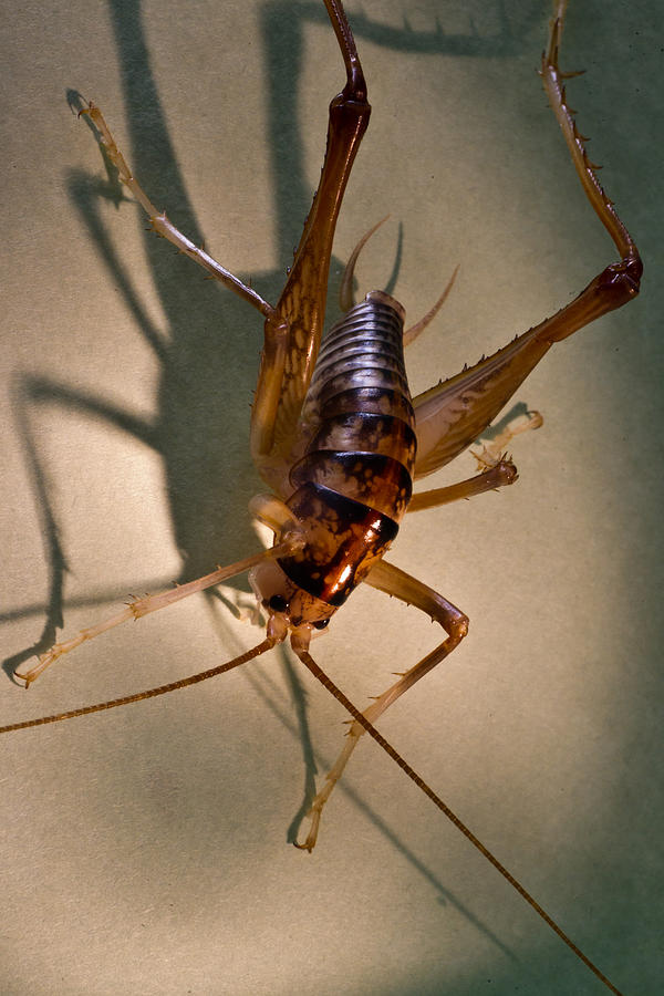 Orthoptera Photograph - Cave Cricket In Shadow 2 by Douglas Barnett