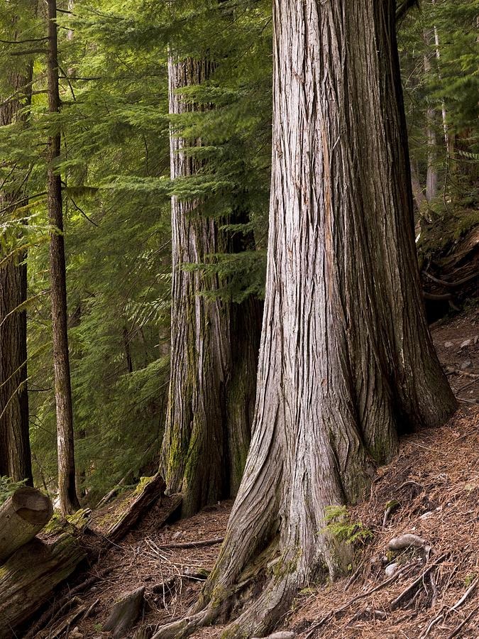 Canada Photograph - Cedar Trees, Whistler, British Columbia by Keith Levit