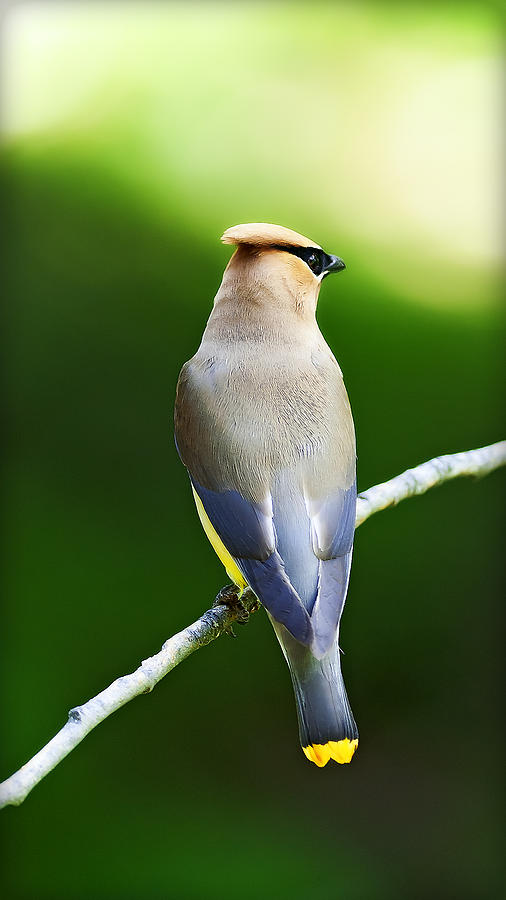 Natures Photograph - Cedar Wax Wing by Edward Kovalsky