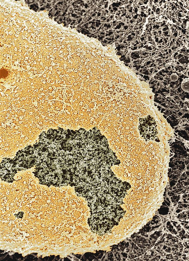 Nucleus Photograph - Cell Nucleus, Sem by