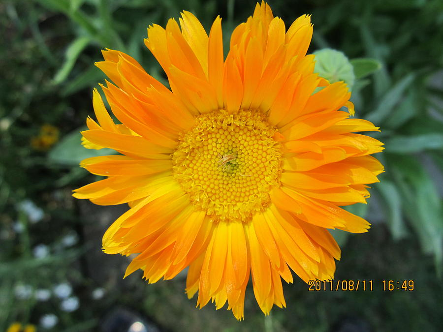 Flowers Photograph - Center Yellow by Tina M Wenger