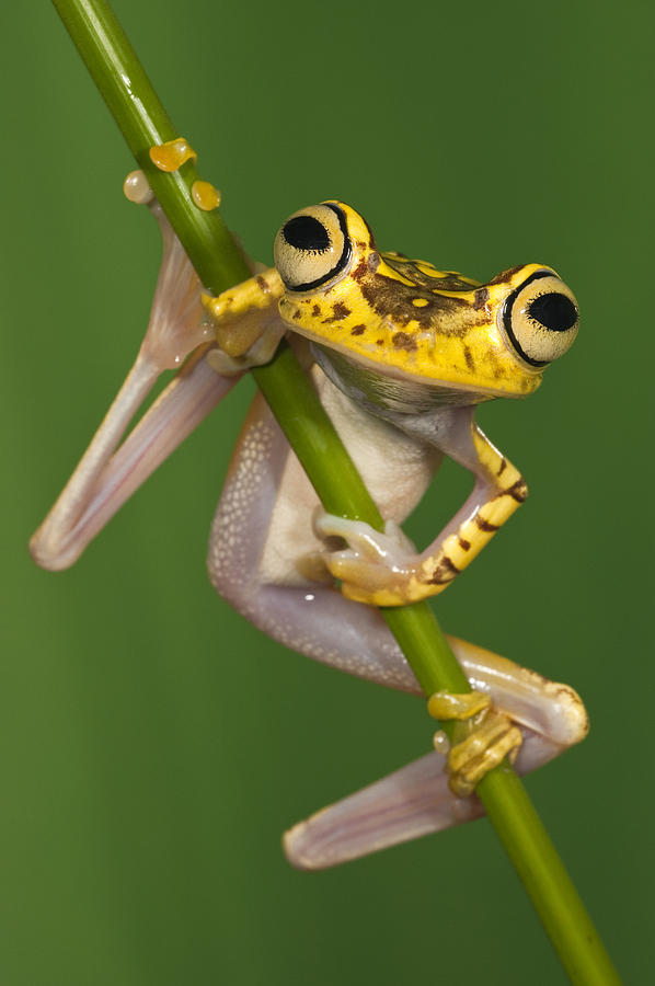 Mp Photograph - Chachi Tree Frog Hypsiboas Picturatus by Pete Oxford