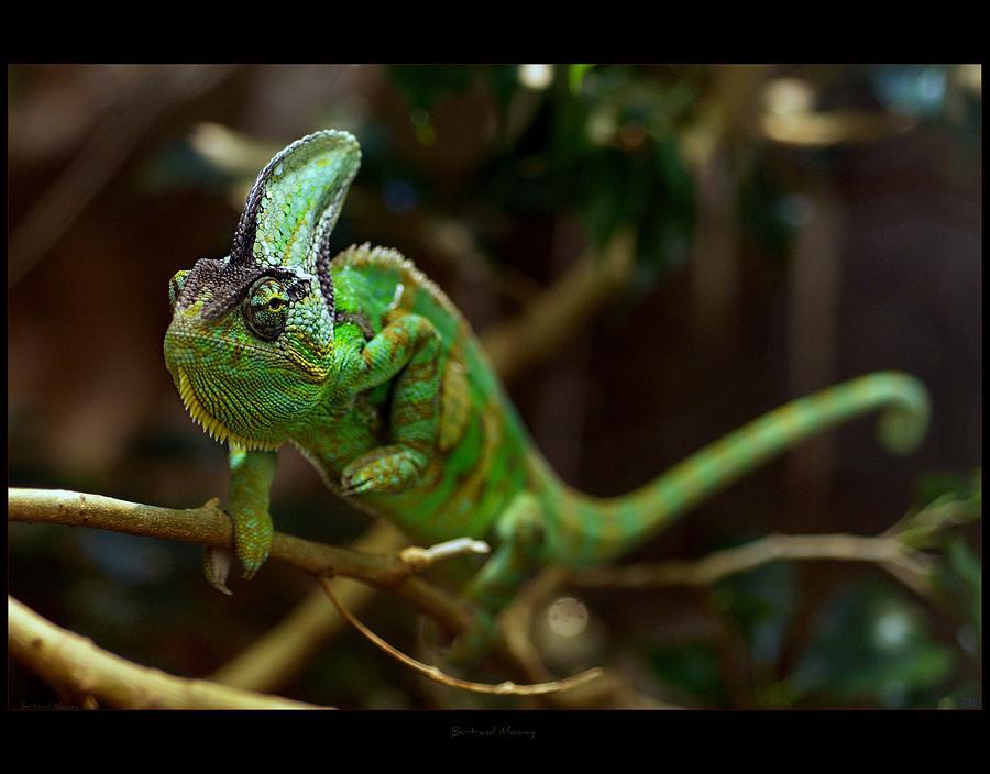 Horizontal Photograph - Chameleon by 1d110