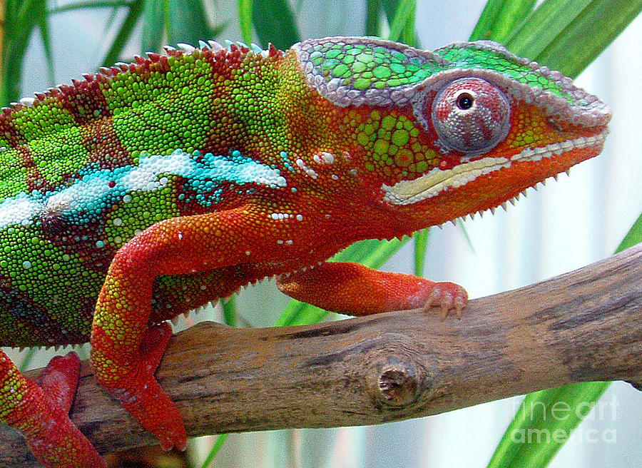 Chameleon Close Up Photograph