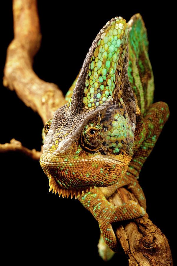 Vertical Photograph - Chameleon by MarkBridger
