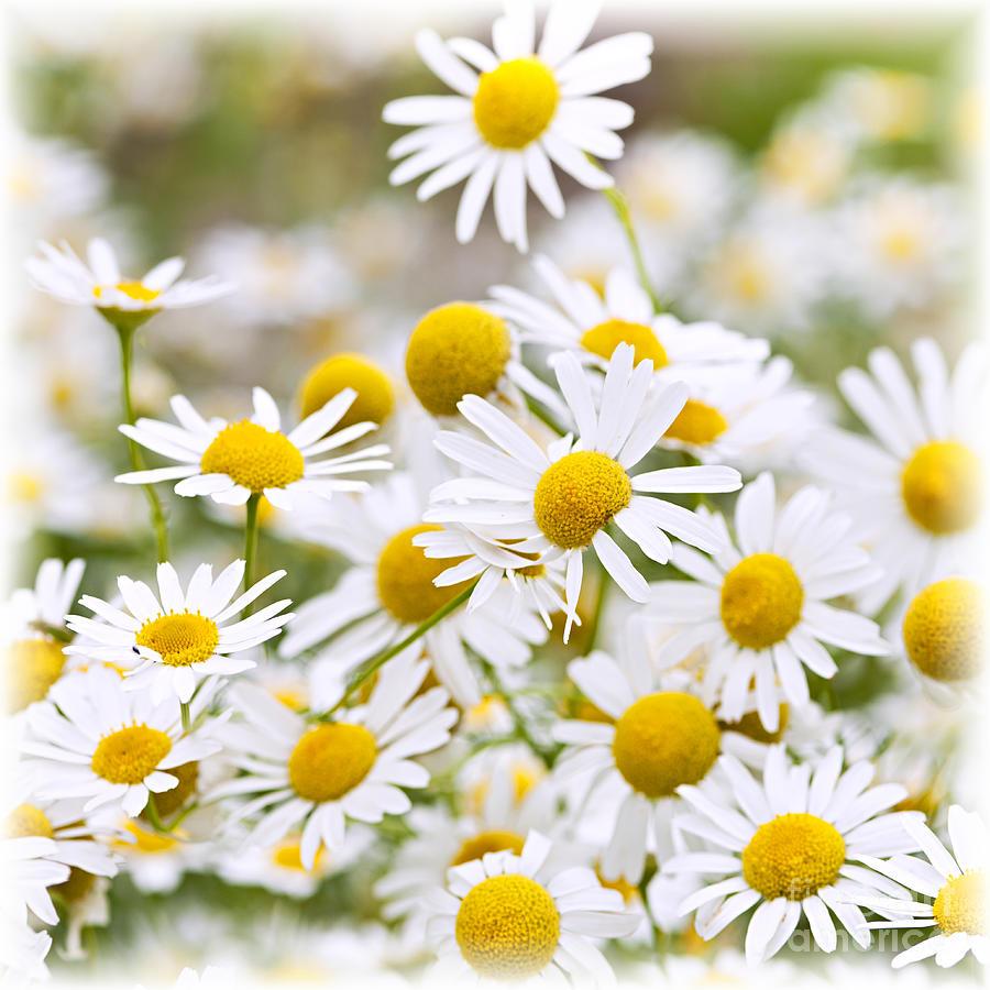 Flowering Chamomile Photograph