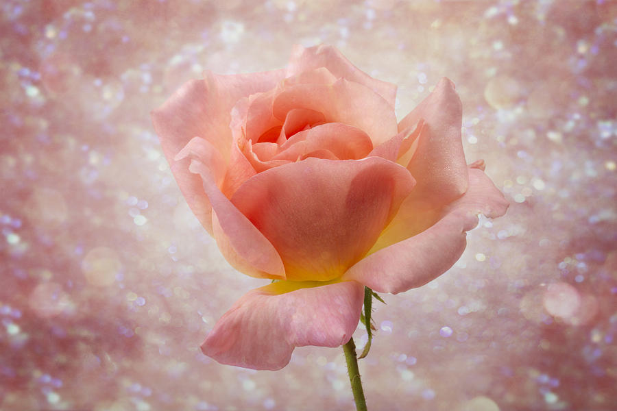 Dreamy Photograph - Champagne Rose. by Clare Bambers