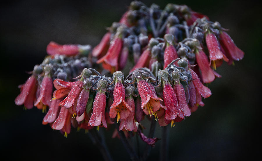 Chandelier plant photograph by bill martin flowers photograph chandelier plant by bill martin aloadofball Choice Image