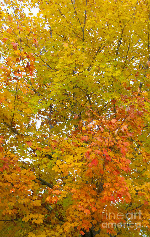 Autumn Leaves Photograph - Changing Colors 3983 by Charles  Ridgway