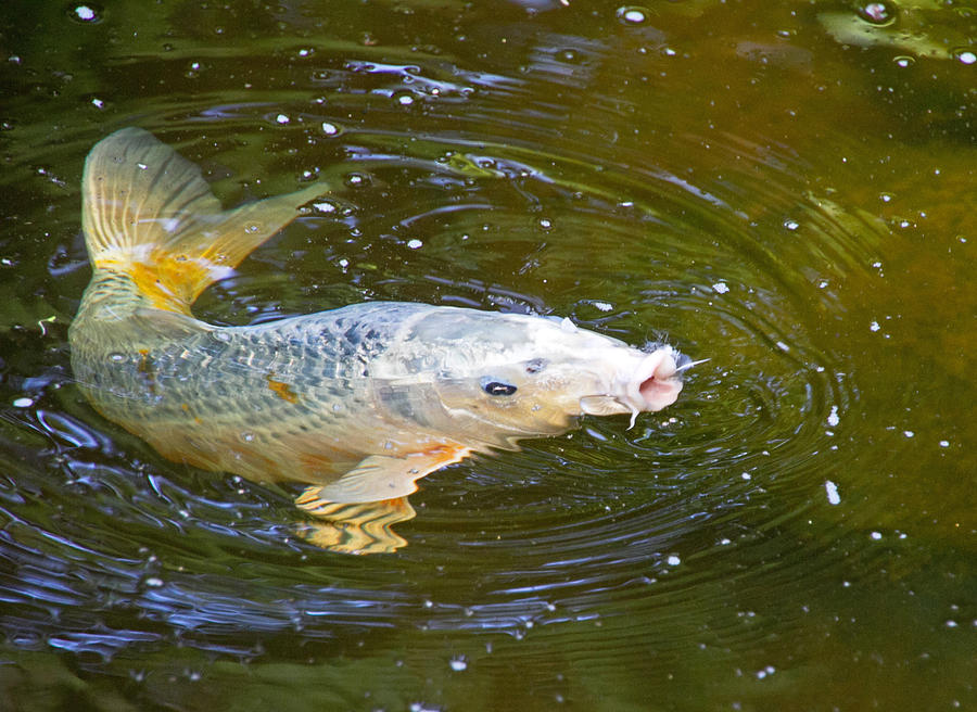 Fish Photograph - Changing Directions by Wayne Stabnaw
