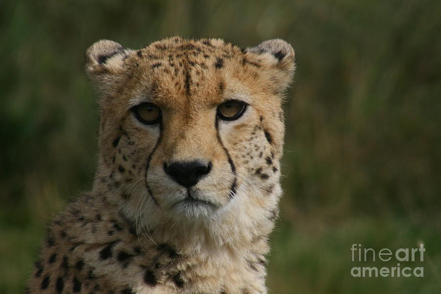 Cheeta Photograph - Charlie The Cheeta by Carol Wright