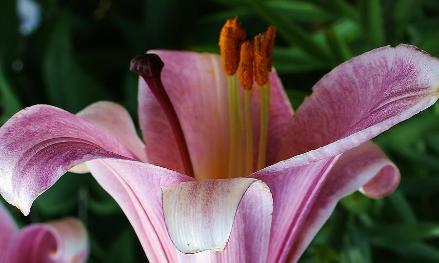 Flora Photograph - Charming Lily by Bruce Bley