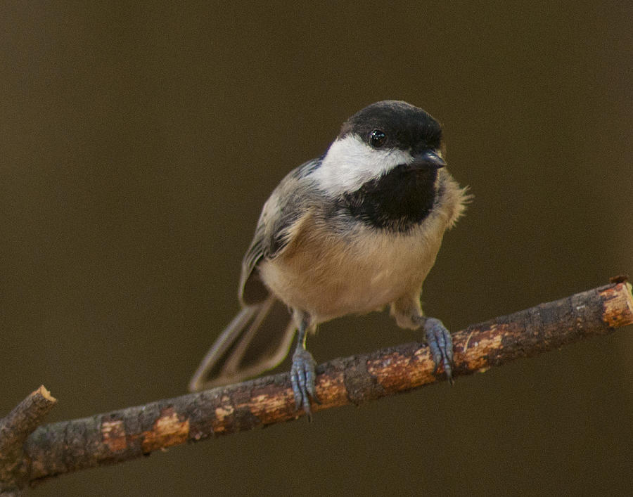 Black-capped Chickadee Photograph - Check Me Out by Don Wolf