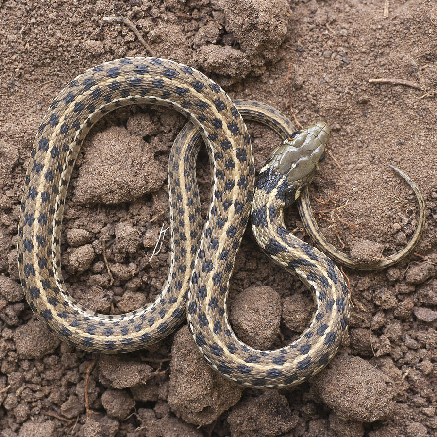 Checkered garter snake photograph by robert benson Garden snakes in texas