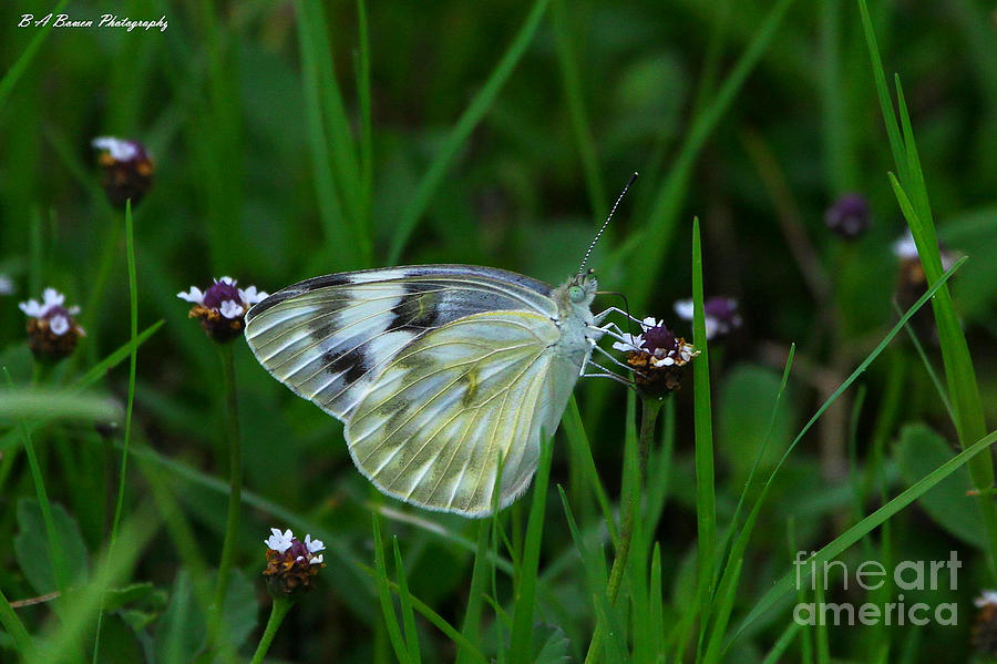 White Butterfly Photograph - Checkered White Butterfly by Barbara Bowen