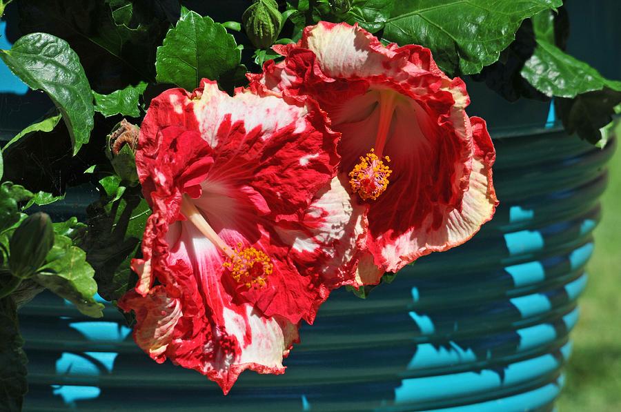Cherry Photograph - Cheery Cherry Appaloosa by Lynn Bauer