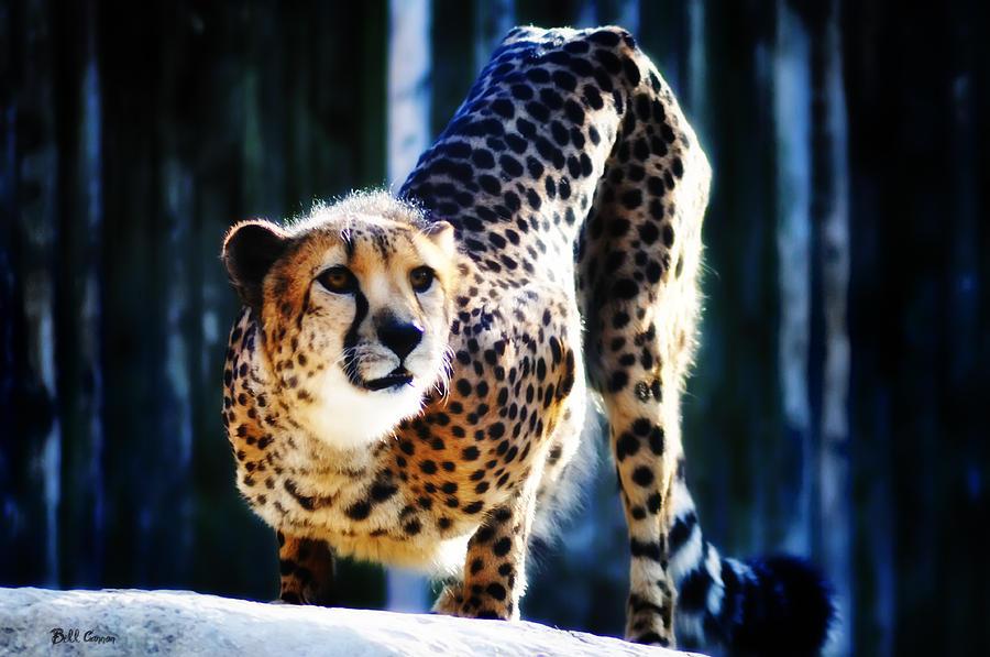 Cheeta Photograph - Cheeta by Bill Cannon