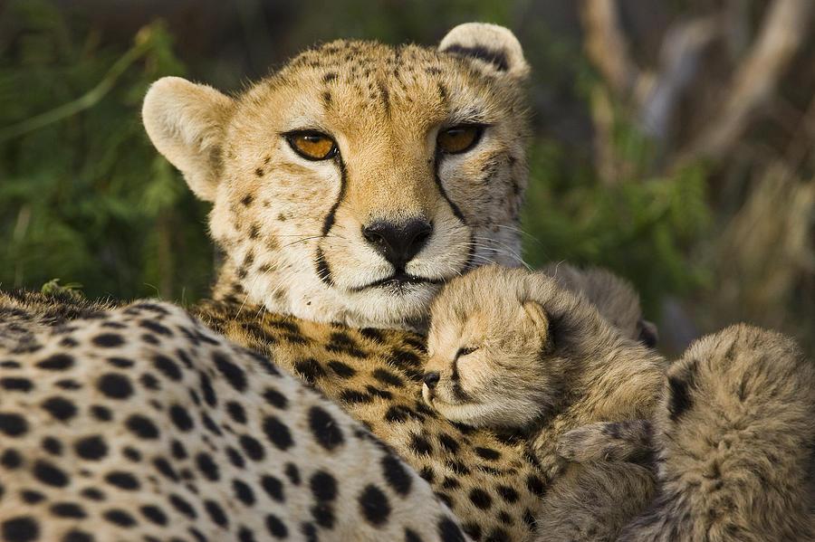 Cheetah Acinonyx Jubatus And Cub Photograph By Suzi Eszterhas