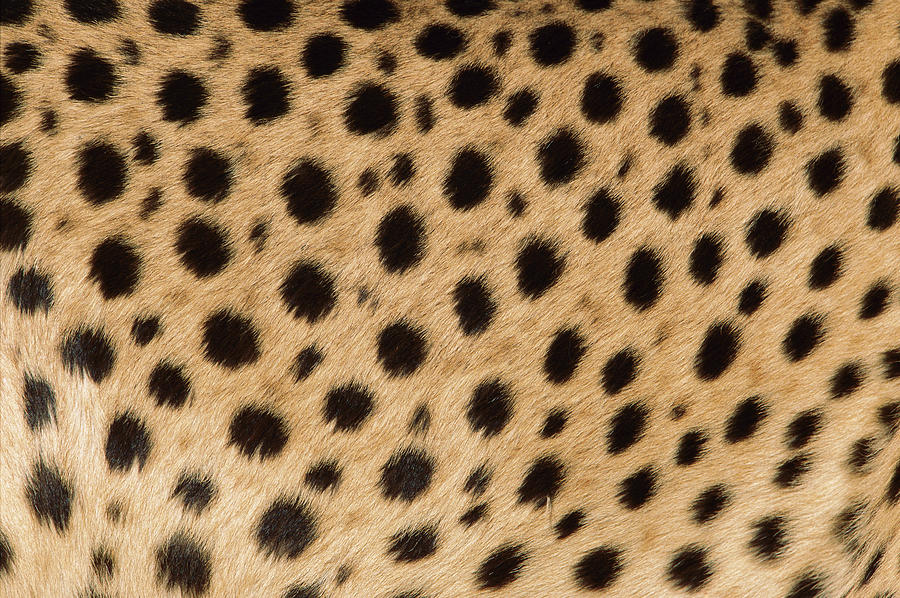 Cheetah Spots Photograph by Ingo Arndt