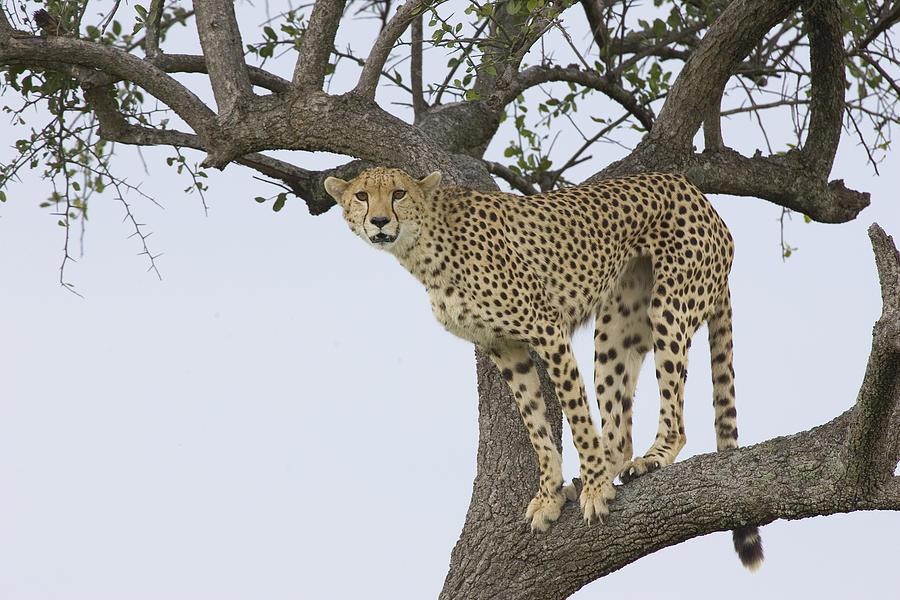 Mp Photograph - Cheetah Acinonyx Jubatus Female by Suzi Eszterhas