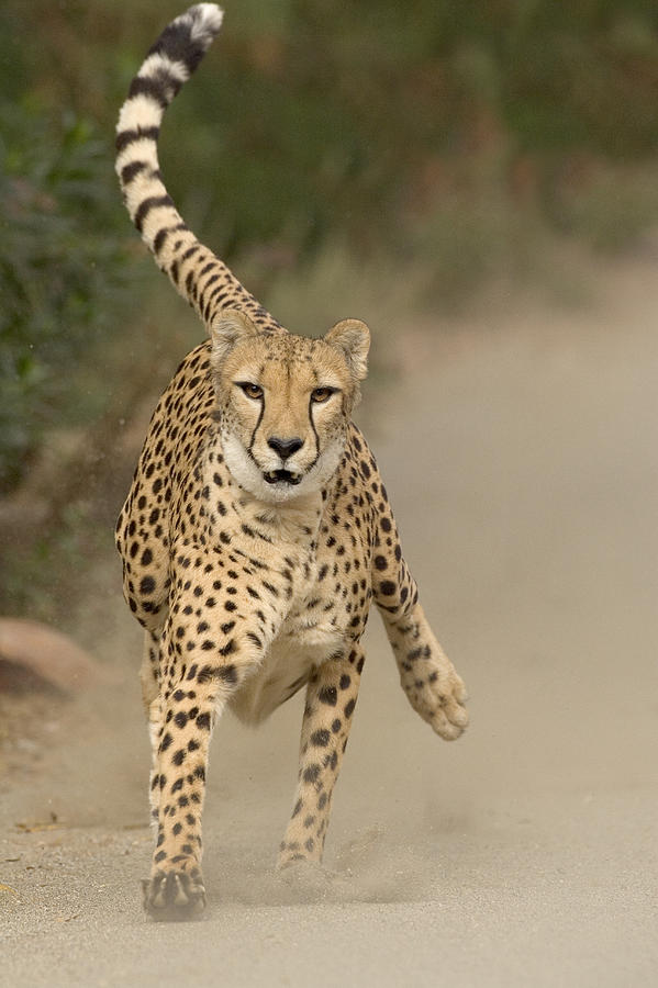 Cheetah Acinonyx Jubatus In Mid Stride Photograph By San