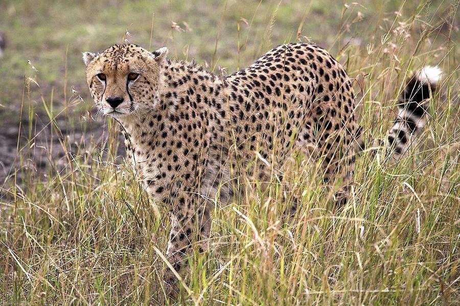 Africa Photograph - Cheetah Acinonyx Jubatus, Masai Mara by Chris Upton