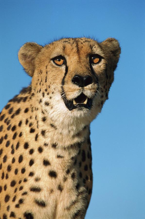 Mp Photograph - Cheetah Acinonyx Jubatus Portrait by Ingo Arndt