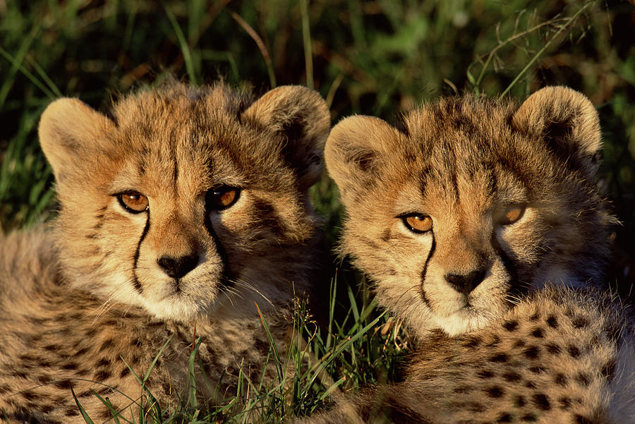 Npl Photograph - Cheetah Acinonyx Jubatus Two Cubs by Peter Blackwell