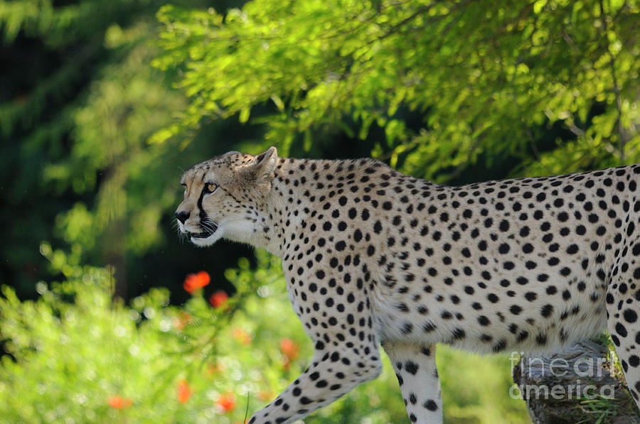 Cheetah Photograph - Cheetah by Marc Bittan