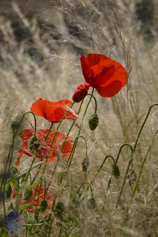 Pure Photograph - Chelsea Poppies I by Dickon Thompson