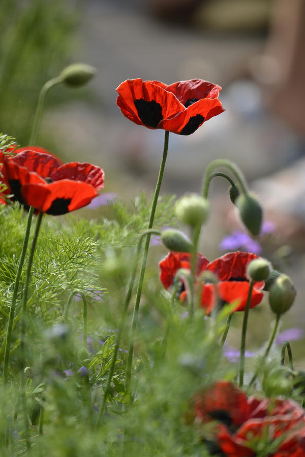 Floral Photograph - Chelsea Poppies II by Dickon Thompson