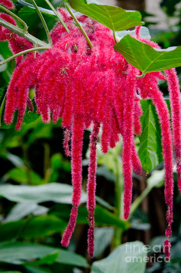 Chenille Flowers Acalypha Hispida Indonesia Photograph By Andy Smy