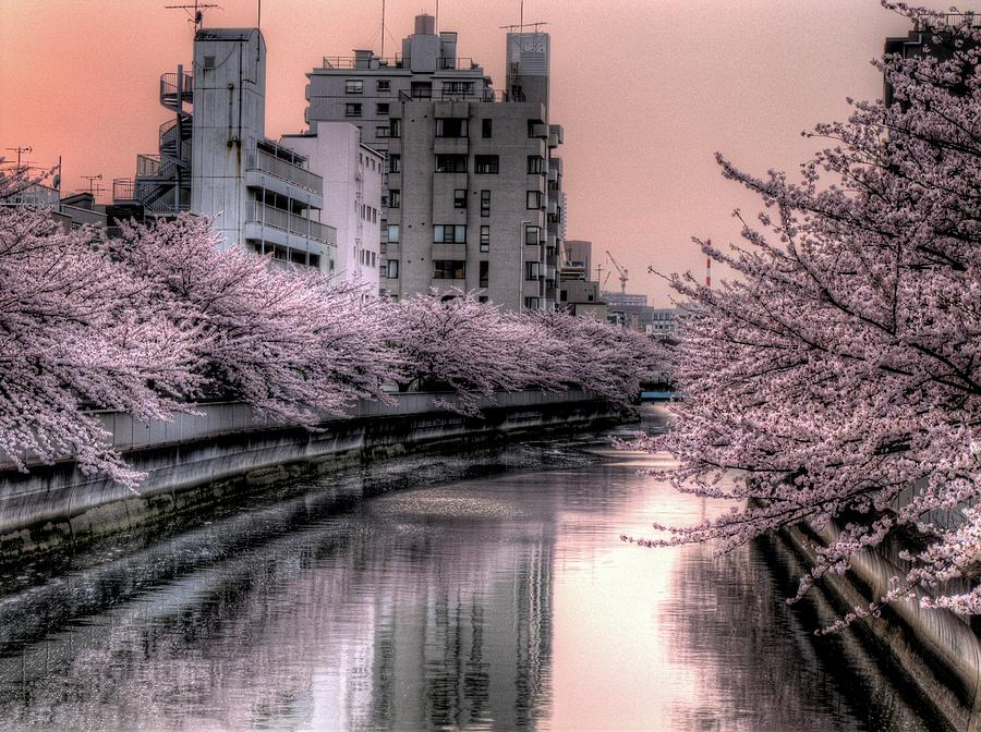 Horizontal Photograph - Cherry Blossom by Akirat2011, All Right Reserved.