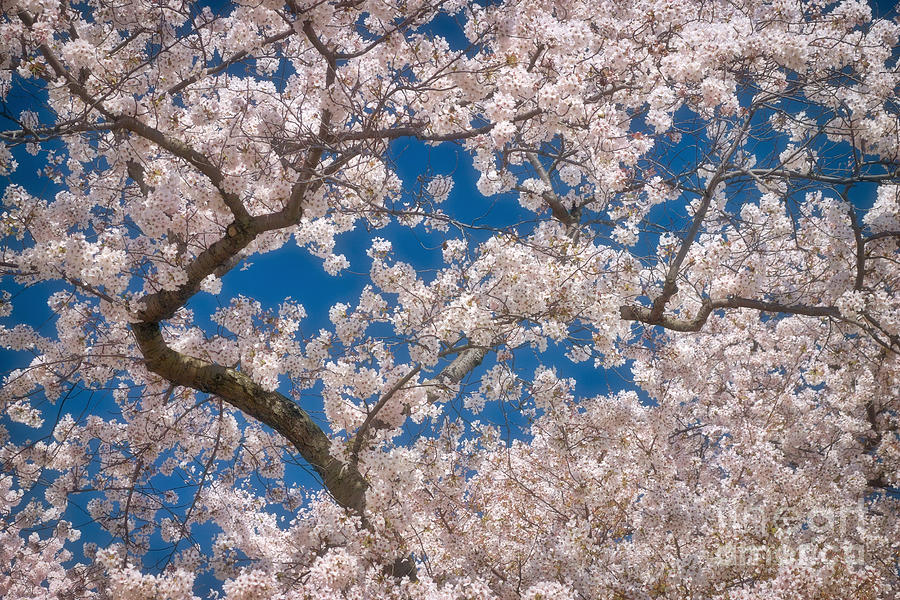 Cherry Blossom Branches Photograph By Susan Isakson