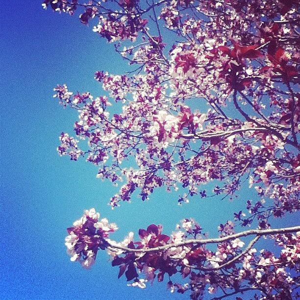 Beautiful Photograph - Cherry Blossom❤ by Brianne Staton