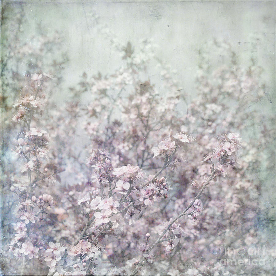 Cherry Blossom Grunge Photograph by Paul Grand
