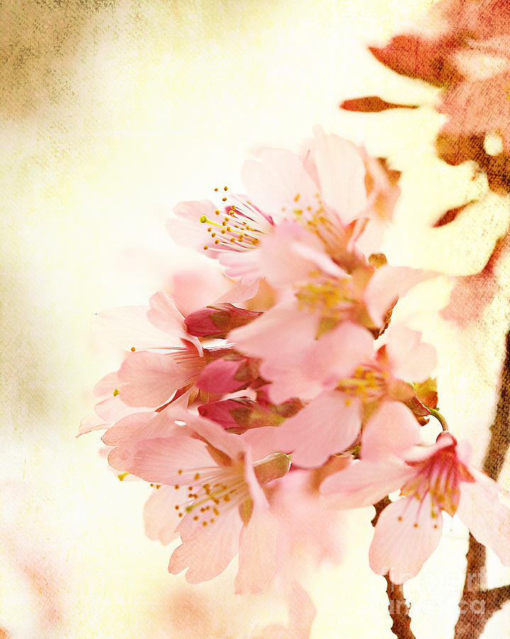 Cherry Blossoms Photograph - Cherry Blossom by Kim Fearheiley