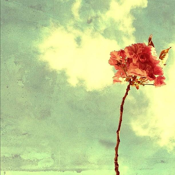 Spring Photograph - Cherry Blossom by Natasha Marco