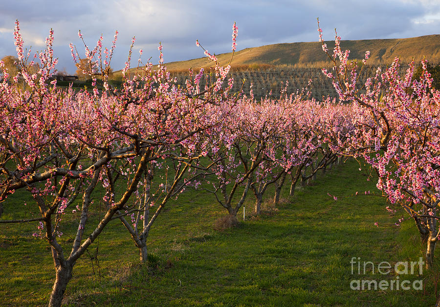 Cherry Photograph - Cherry Blossom Pink by Mike  Dawson