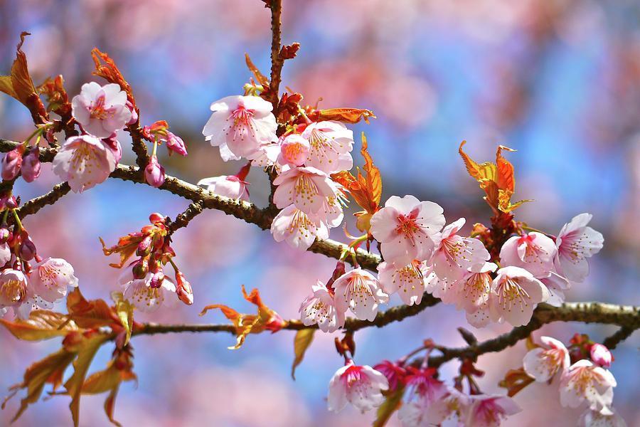 Horizontal Photograph - Cherry Blossom by T. Kurachi