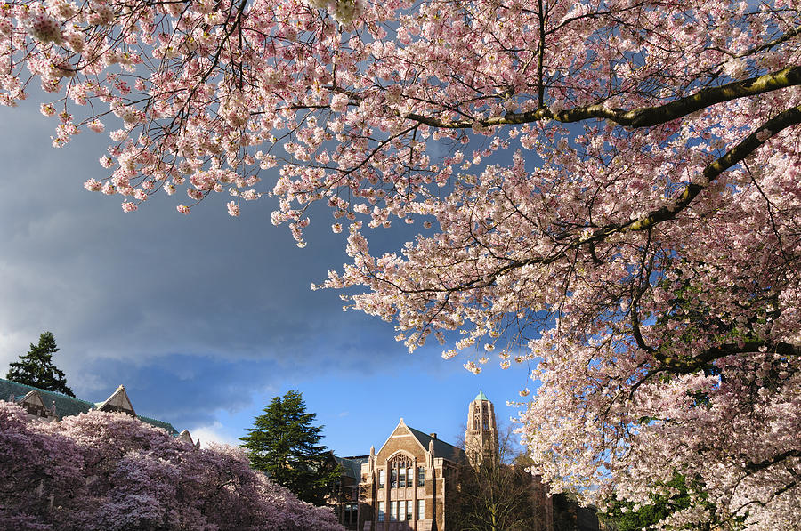 Cherry Blossoms At University Of Washington Photograph By