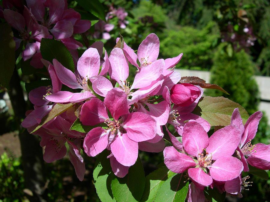 Cherry Digital Art - Cherry Blossoms by Claude McCoy