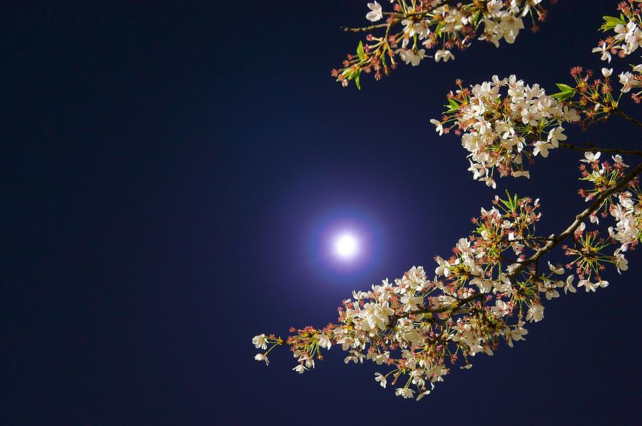 Horizontal Photograph - Cherry Blossoms by GLIDEi7