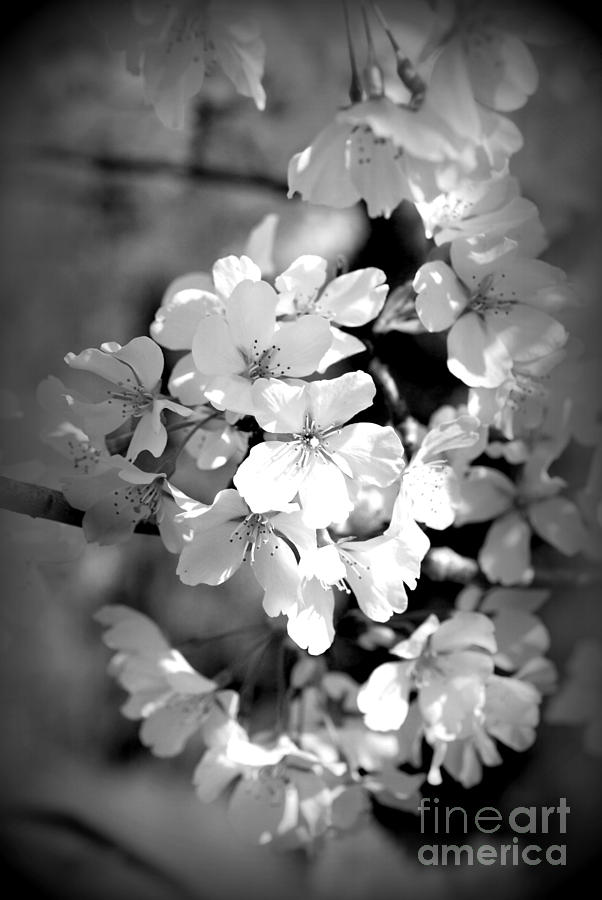 Cherry Blossoms In Black And White Photograph By Lila Fisher Wenzel